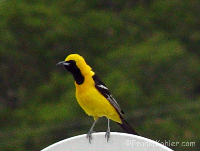07-12-Hooded Oriole-male