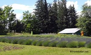 06-16-16 Lavender field