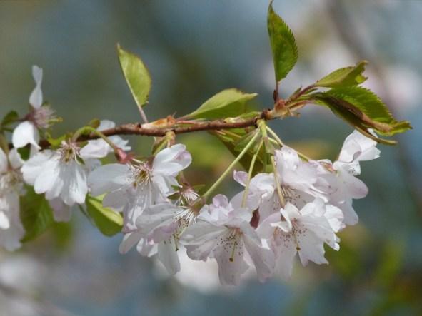 Kirschblüten (c) Frank Koebsch (6)