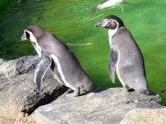 Pinguine im Schweriner Zoo (c) FRank Koebsch (1)