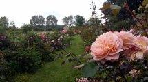 Rosen im Park von Groß Siemen als Motiv für unsere Aquarelle (c) Frank Koebsch (4)