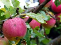 Äpfel - taufrisch im Spätsommer (c) Frank Koebsch (2)