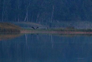 Kraniche landen auf den Schläfplätzen des Rederang See im Müritz-Nationalparks © Frank Koebsch (1)