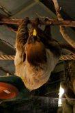 Die Faultiere im Darwineum haben auch bei Nacht einen guten Appetit (c) Frank Koebsch
