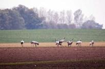 Kraniche auf den Feldern bei Röbel (c) Frank Koebsch (9)