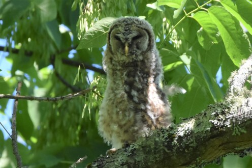 O-Barred Owl Fledgling Stecoah 052617 (98)