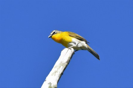 Optimized-Yellow breasted Chat Greenway 051717 (83)