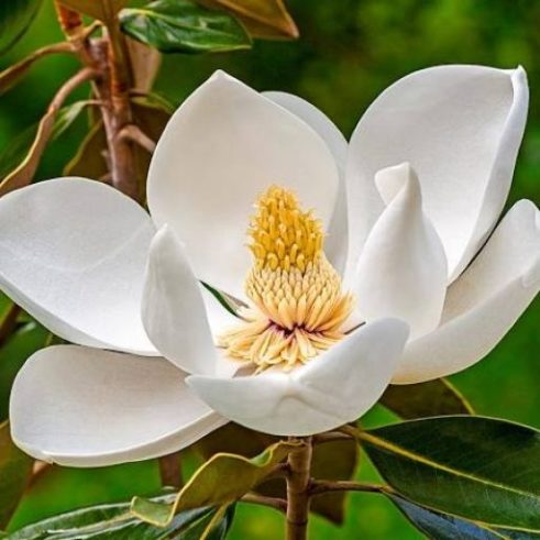 cropped-magnolia-1.jpg
