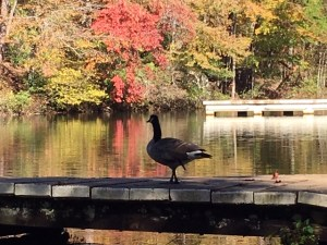 Frankly, My Dear . . . Goose at Paris Mountain