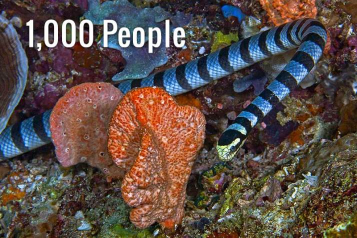 a-sea-snake-can-kill-as-many-as-1000-people-with-its-venom