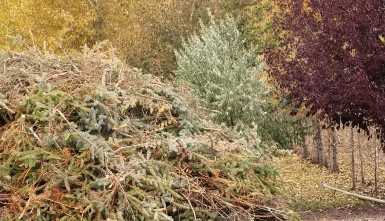 Christmas tree mulch