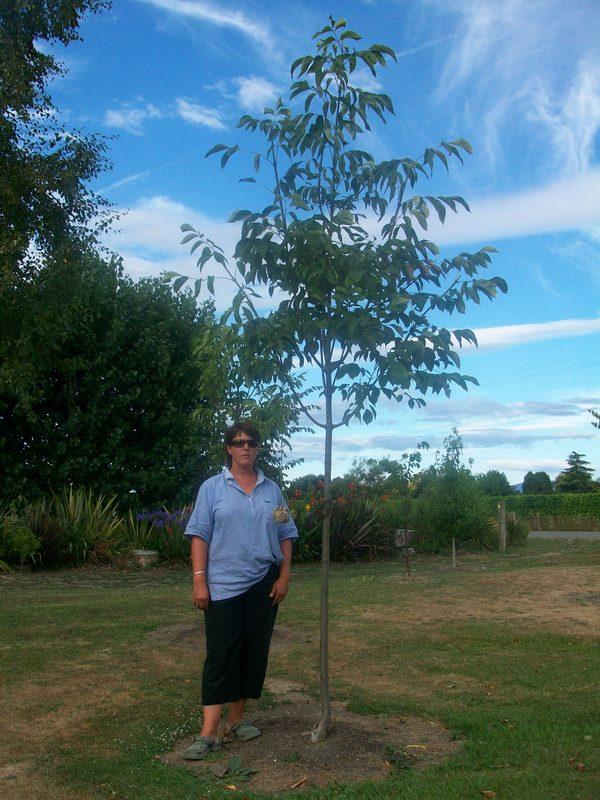 Fraxinus 'Purple Spire' - summer, 3 year old tree.