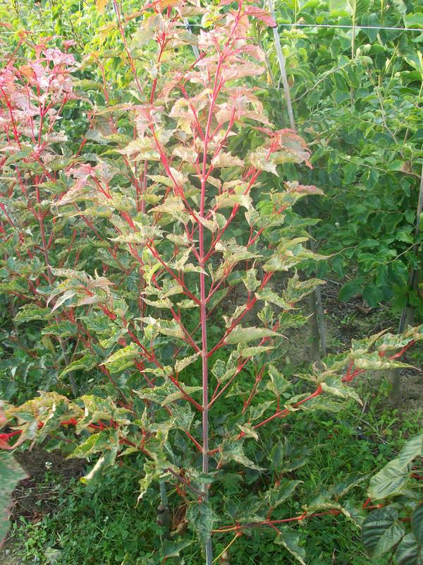 acer Gracefield