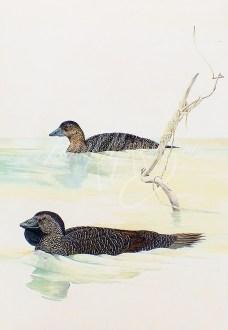 (289) Musk Ducks 101 x 71 cm SOLD