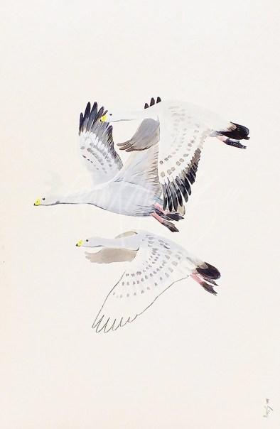 (473) Cape Barron Geese 51x76 cm SOLD