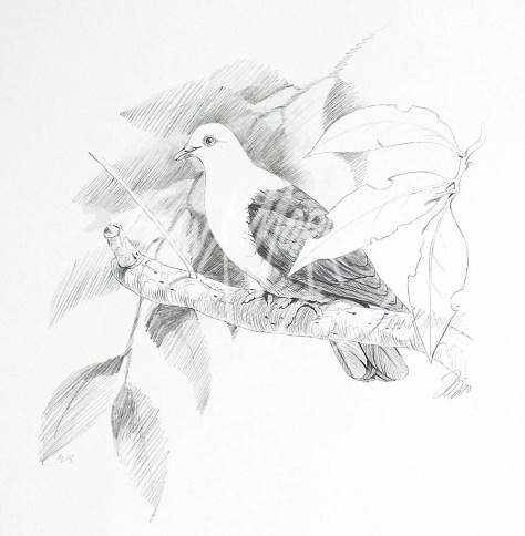 (PD18) White-Headed Pigeon 76 x 51 cm