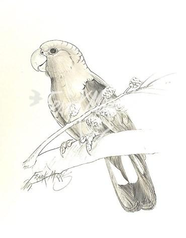 (PD8) Glossy Black Cockatoo 76 x 51 cm $60