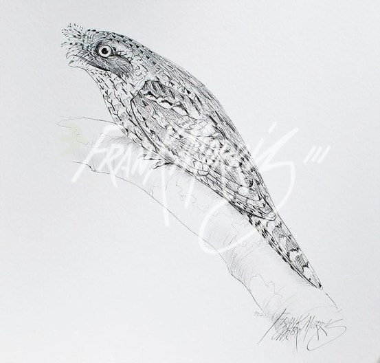 (PD22) Marbled Frogmouth 76 x 51 cm