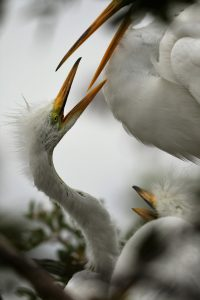 egrets at orlando