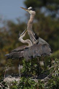 heron and chicks venice