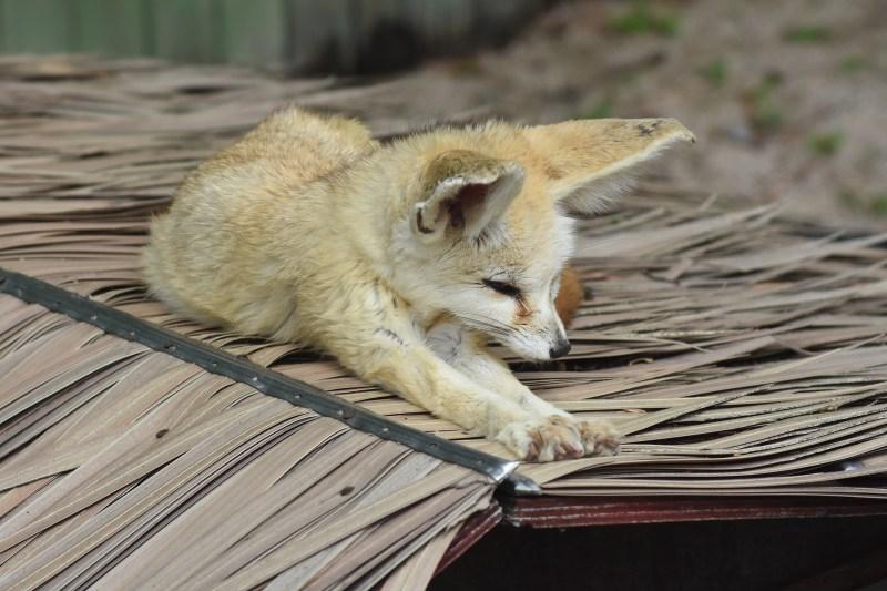desert-fox-3382063_1920