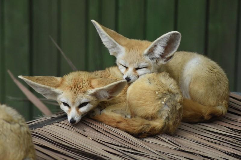 desert-fox-3382067_1920