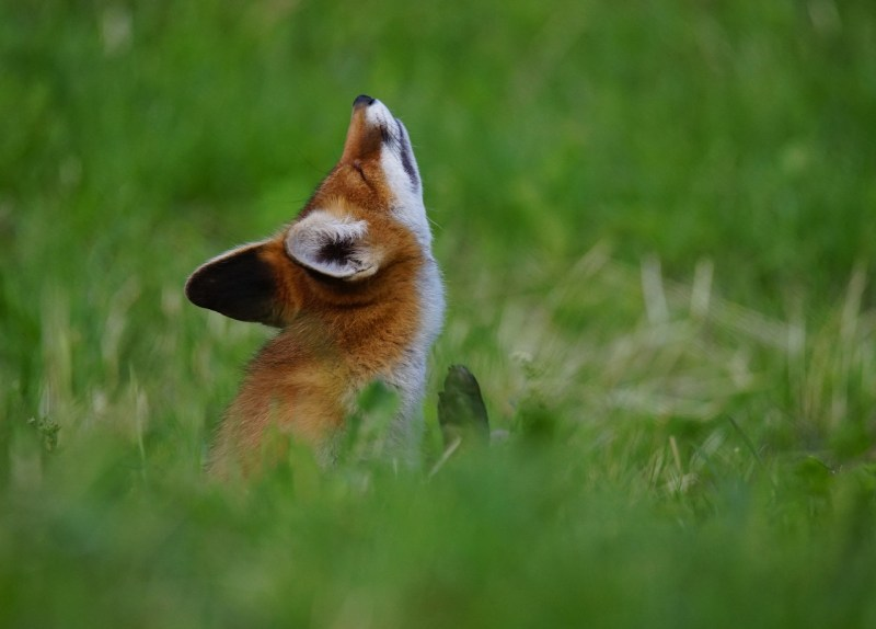 fox-1640070_1280