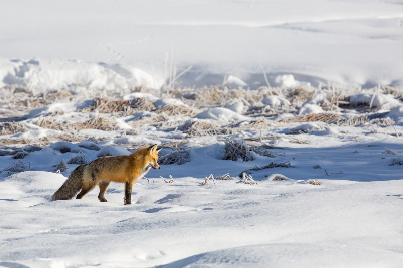 fox-3818359_1920