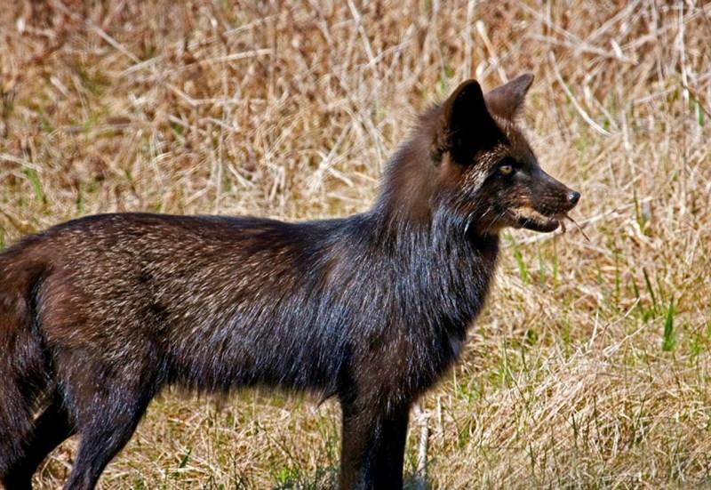 fox-71829_1280