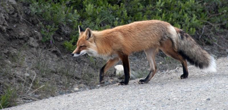 red-fox-1794692_1920