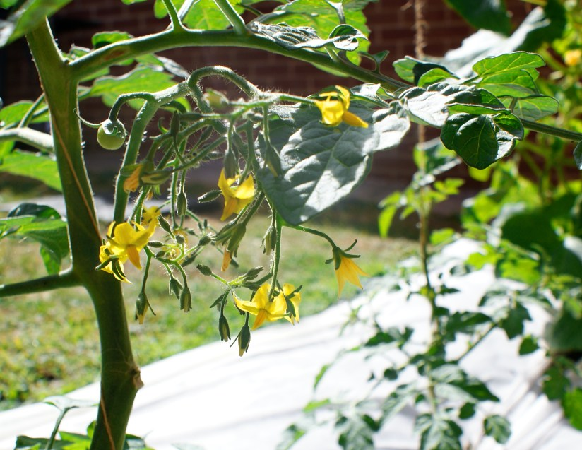 Tomato flowers in our sunny garden
