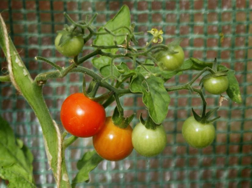 Ripening cherry tomatoes
