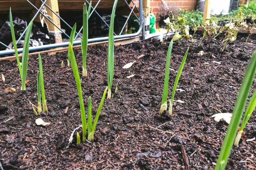 Garlic 'Early Purple Wight' shoots
