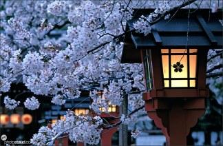japan-sakura-005