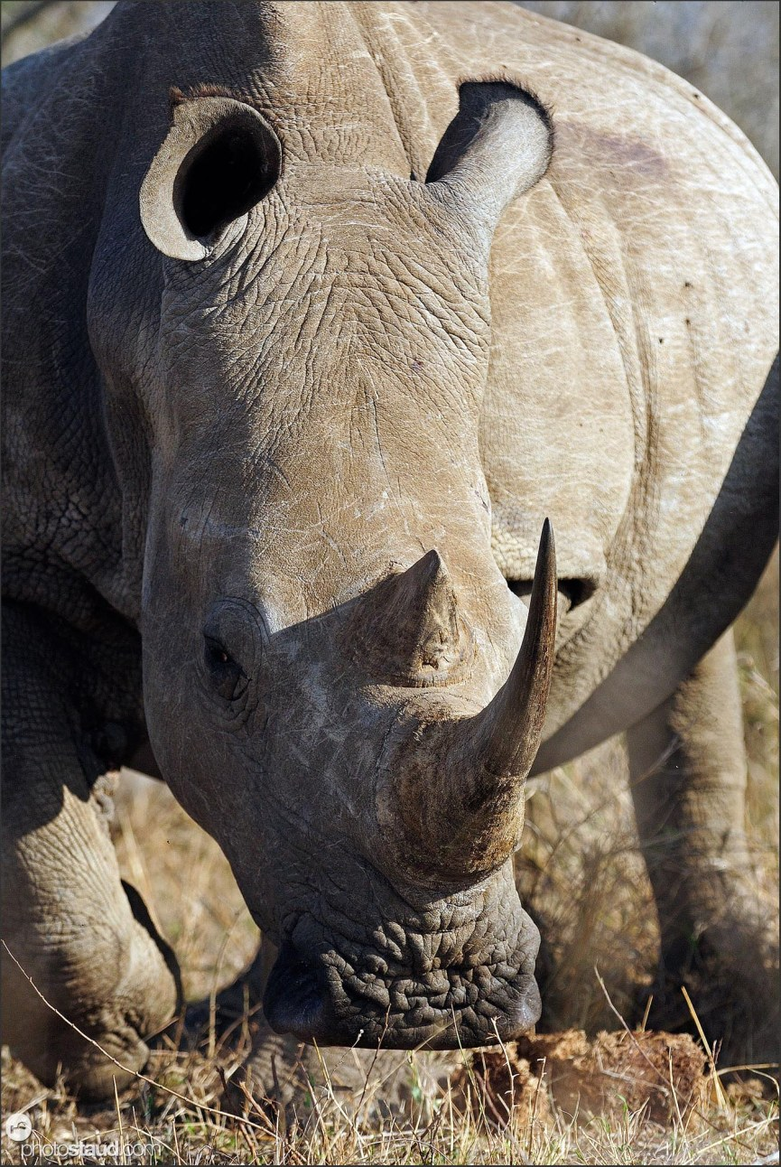 Close up portrait of white rhinoceros (Ceratotherium simum), Hlane Royal National Park, Swaziland