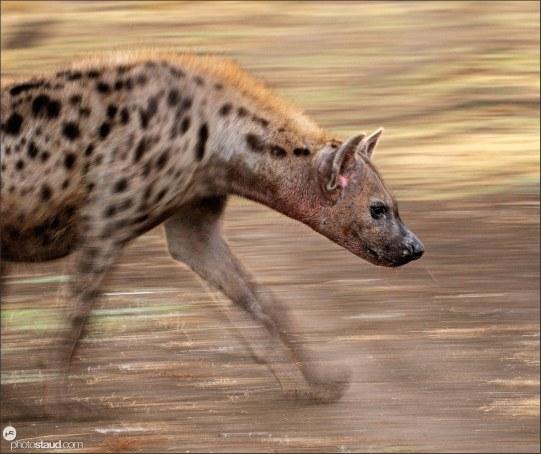 zambia-luangwa-hyena-001