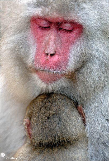 Japanese Macaque (Macaca fuscata) nurturing her baby - close up portrait, Jigokudani National Park, Japan