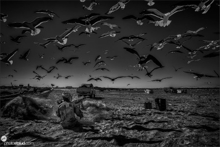 Fisherman extracting the fish from the nets surrounded by seagulls, black and white, Oman