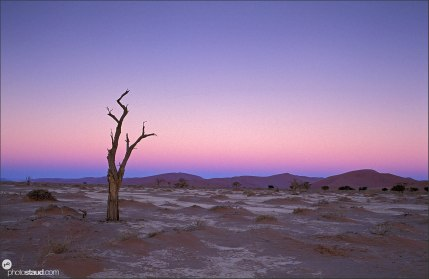Lonely dead Acacia tree in the evening landscape of the Namib Desert, Sossusvlei, Namibia