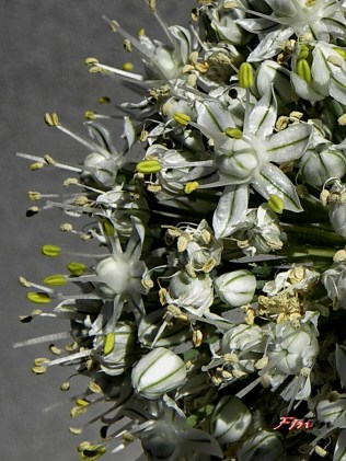 Allium Cepa - Cipolla