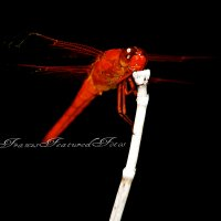 Red Dragon Fly  Macro taken in Texas