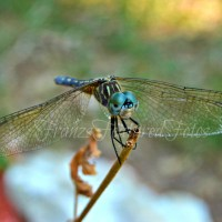 SMILING DRAGON FLY