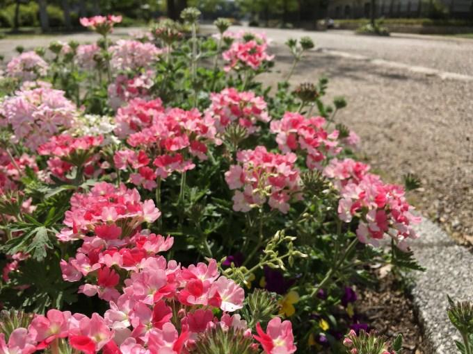 ピンクの花v