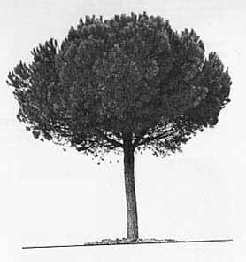 pino domestico Pinus pinea