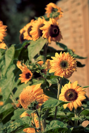 Sonnenblumen-Minifeld