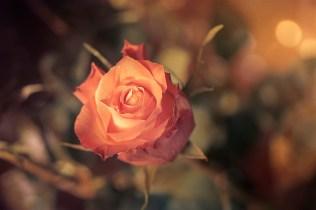 rosenbokeh