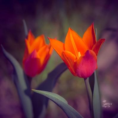 roten Tulpen