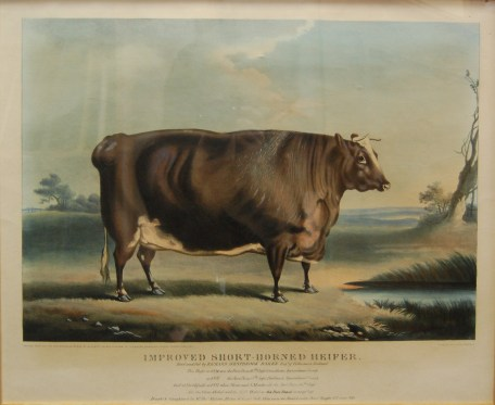 Coloured lithograph of Improved Short Horn Heifer in 1837