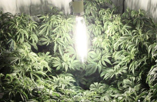 Indoor cannabis grow using HPS lamp