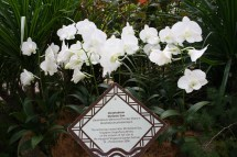 Princess Diana Memorial Orchid